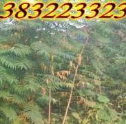 河北火炬树苗价格图片
