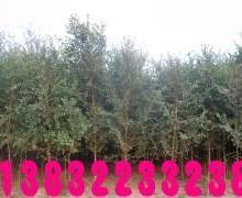 供应榆树产地价格,凯辉苗木公司出产出售榆树大小苗。可以提供8百万