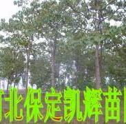 带冠带球梧桐树图片