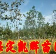 楸树价格图片