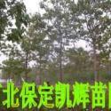 供应中国梧桐树,梧桐基地,梧桐市场,梧桐交易,梧桐树苗,苗木苗圃