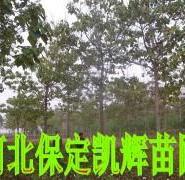 中国梧桐树图片