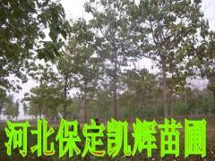 梧桐图片/梧桐样板图 (1)