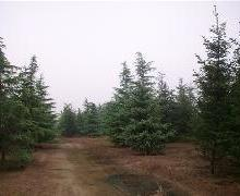 供应绿化苗木.小区绿化苗木