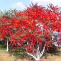 红叶火炬树图片