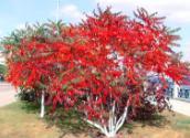 供应红叶火炬树.红叶火炬树苗基地,保定一家出售