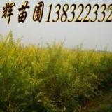 供应低接金叶榆价格.金叶榆树苗,地接低接金叶榆树苗