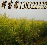 金叶榆产地图片