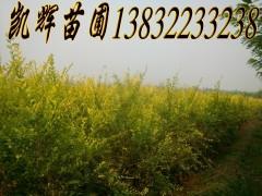 华北金叶榆图片