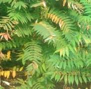 小火炬树图片