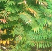 北方火炬树图片