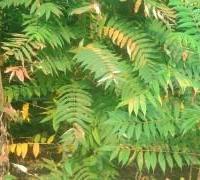 供应北方火炬树,北京火炬树苗木基地