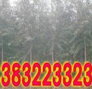 河北旱柳树图片