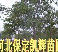 供应梧桐市场,保定梧桐市场,河北梧桐市场,耐碱梧桐苗,种植梧桐树