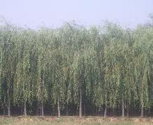 供应垂柳苗.保定市凯辉苗木大市场提供垂柳苗,345000棵