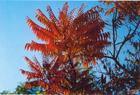 河北火炬树种植图片