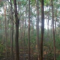 供应大火炬树,大棵,大冠火炬树苗基地.1-20公分树苗