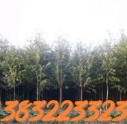 馒头柳主产区图片