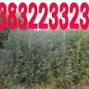 榆树树木图片