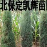 供应北京侩柏树,北京侩基地,北京侩主产区,北京侩出售地,北京侩苗