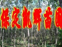 供应河北丝棉木;河北丝棉木价钱;河北丝棉木批发