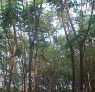 小区绿化火炬树图片