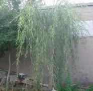 垂柳树图片