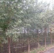 平头国槐树苗图片