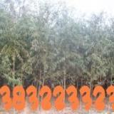 供应馒头柳树种植园,园林绿化苗木,小区绿化基地出售柳树,金丝柳树