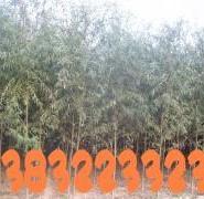 馒头柳树种植园图片
