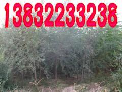 供应榆树种植基地,榆树,金叶榆,金枝槐,金叶槐,火炬树,香花槐苗