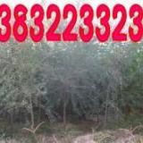 供应榆树主产区,凯辉苗圃信息发布-----正在出售大小榆树树木!