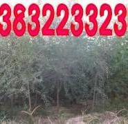 榆树苗木图片