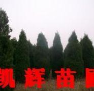 河南侩柏树苗图片