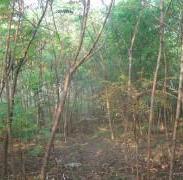 火炬树主产区图片