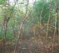 供应八里庄火炬树,河北保定八里庄火炬树基地卖树苗