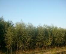 河北速生柳树批发价格,多少钱一颗,哪里种植速生柳树图片