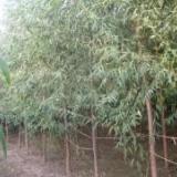 供应馒头柳树产地价,保定凯辉苗圃主营产品-------馒头柳树苗