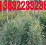 榆树种植园图片