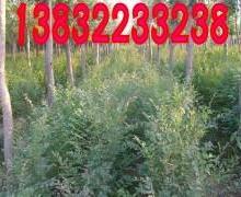 供应榆树种植,生产种植基地,6000亩榆树。可以提供5840万株批发