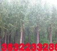 供应带分支漳河柳,2.5米分支漳河柳,2年头漳河柳,3米冠漳河柳