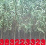 漳河柳种植地图片