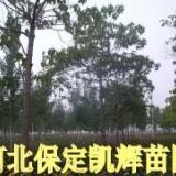 供应平头梧桐,梧桐平头树,梧桐定干树,紫花梧桐,悬铃木,中国梧桐