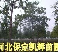 供应梧桐产地价,中国梧桐树苗基地,紫花梧桐基地,大梧桐树苗基地,