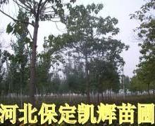 供应平头梧桐,梧桐平头树,梧桐定干树,紫花梧桐,悬铃木,中国梧桐批发