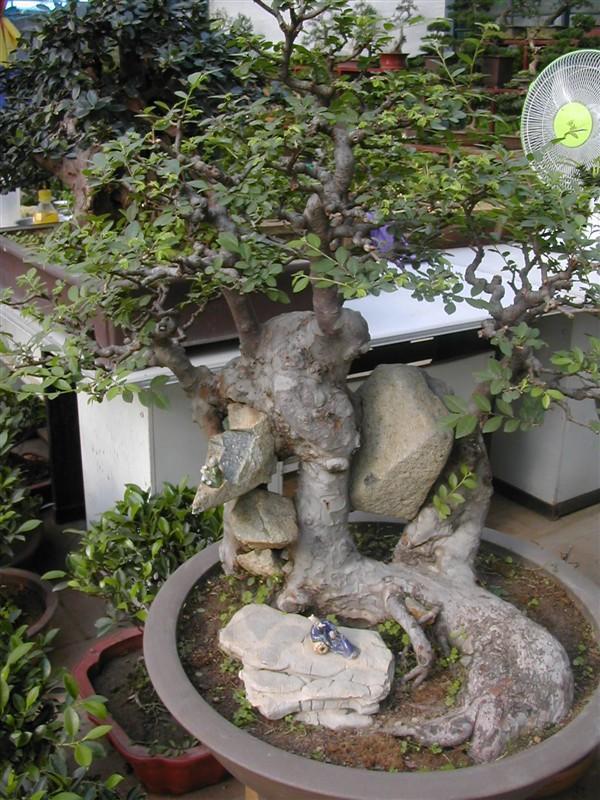 紫薇树桩图片