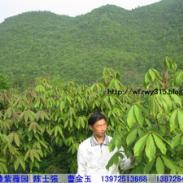 武汉质量最好的七叶树苗批发图片
