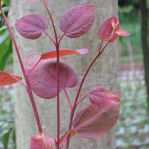 湖北珍稀植物连香树苗批发价格图片