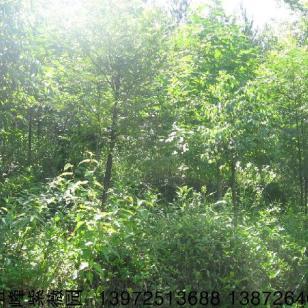 红豆杉苗图片