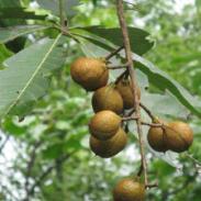 供应今年秋采七叶树种子